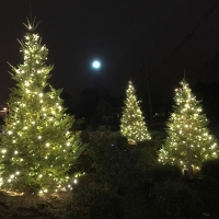 Three Spruce Trees in Mansfield, MA